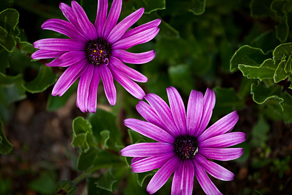 Purple Flower Albany Western Australia