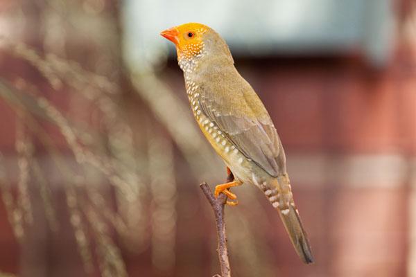 Yellow star finch - photo#2